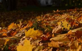 осень, листва, солнце, листья, клен