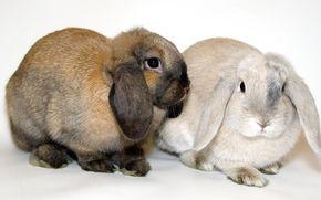 кролики, вислоухие, животные
