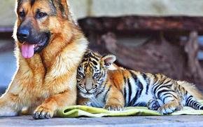 dog, tiger cub, Friends