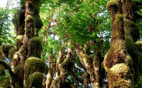 bosque, árboles cubiertos de musgo, naturaleza