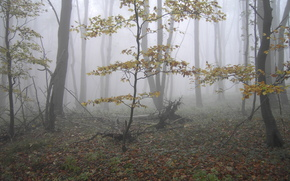 autumn, forest, trees, fog