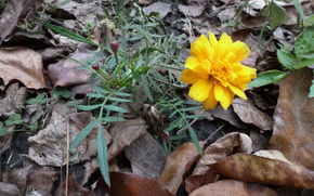 Marigolds, marigold, autumn, November, Kharkov