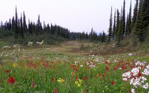 поле, деревья, цветы