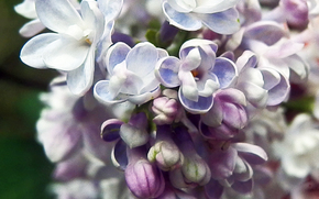 花卉, 紫丁香, SPRING, 紫色, 压痛。