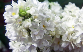 Flowers, lilac, SPRING, tenderness, white.