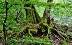 лес, деревья, корни, озеро, природа