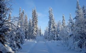 inverno, nevicata, derive, foresta, alberi, abete rosso