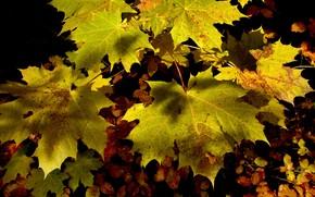 осень, листья, клён, природа