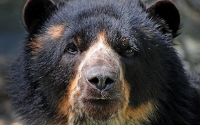 bear, animal, predator