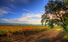 Healdsburg, California, Dorgu, albero, vigneto, paesaggio