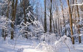 inverno, foresta, alberi, natura, paesaggio