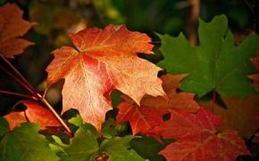 FILIALE, fogliame, acero, natura, autunno