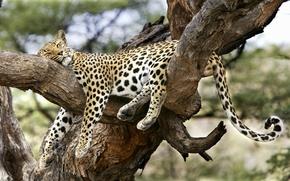 lopard, pratique, rve, arbre