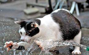 кошка, ловит, воду