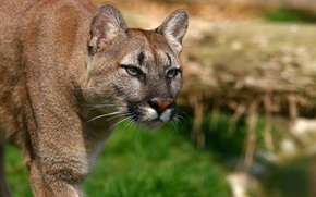 cougar, cougar, Mountain Lion, wildcat, Snout