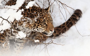 jaguar, wildcat, Snout, snow, winter, BRANCH