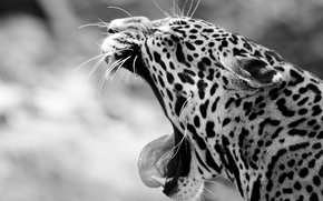 jaguar, wildcat, Snout, yawns, jaws, canines, language, black and white