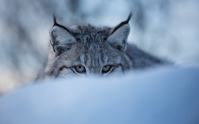 lynx, wildcat, Snout, eyes, ears, snow, winter, ambush