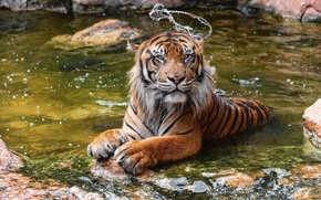 tiger, wildcat, Snout, water, bathing