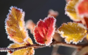 foliage, yellow, red, branch, rime, ice, snow, Macro