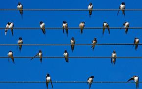 birds, Swifts, swallows, wire, sky, nature, summer, wallpaper