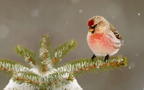 nature, winter, snow, fir-tree, needles, bird, beak