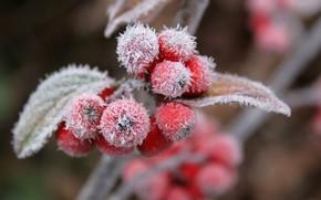 ягоды, иней, лист, природа