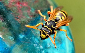 wasp, insect, foot, wings, nature