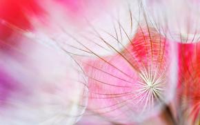 цветок, лепестки, пух