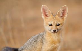 Cape Fox, South African fox, visualizzare