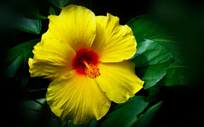 Yellow Hibiscus, цветок, растение