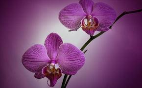 орхидея, цветы, флора