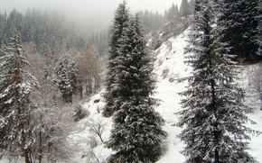 горы, ели, туман