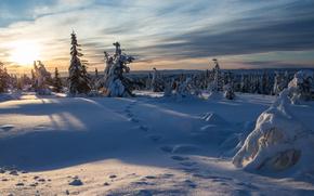 Norvège, Norvège, hiver, neige, épinette, traces