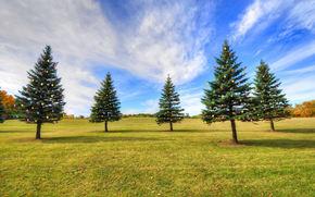 парк, поле, ели, деревья, пейзаж