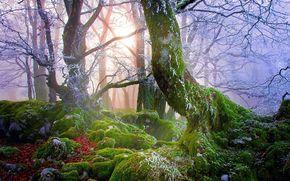 foresta, nebbia, alberi, pietre, muschio, natura