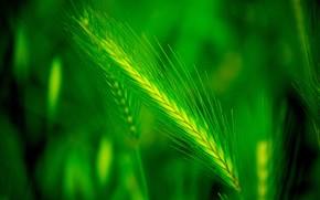 impianto, spighe di grano, Macro