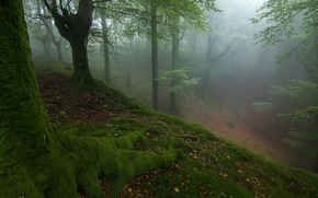 forest, trees, nature, fog