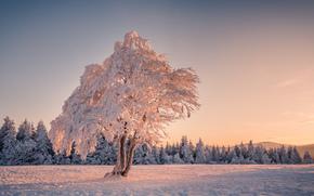 inverno, albero, tramonto, foresta, paesaggio