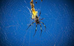 araña, web, insecto