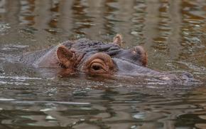 hippopotame, hippo, animaux