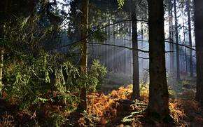 森, 木, 霧, 自然
