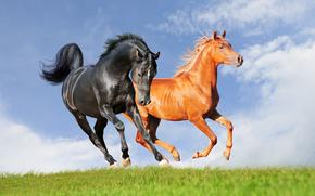 horse, Horses, animals