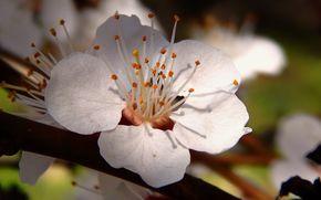 Абрикос, цветок, макро, белый, мир, красота, нежность