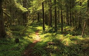 лес, деревья, тропа, природа