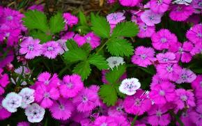 цветы, гвоздички, флора