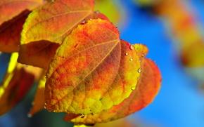 automne, feuillage, gouttes, Macro