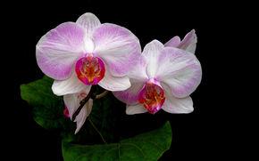 орхидея, цветок, флора