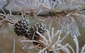 BRANCH, Cones, needles, frost, Macro