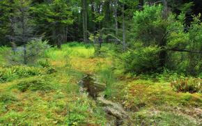 foresta, alberi, torrente, paesaggio